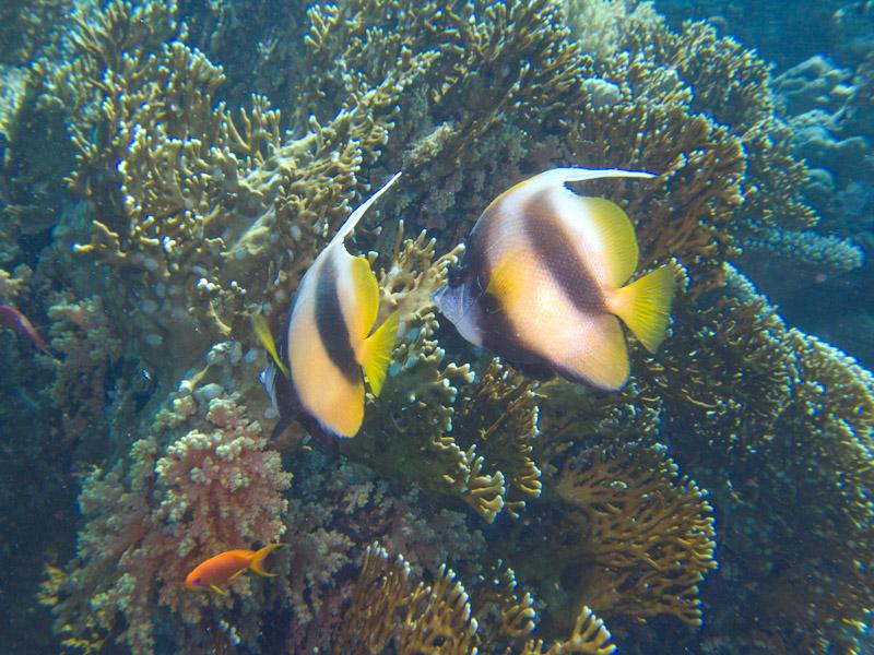 Photo at Shark & Yolanda Reefs:  Red Sea bannerfish