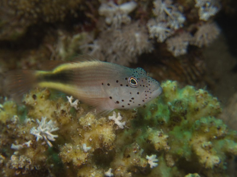 Photo at Shark & Yolanda Reefs:  Blackside hawkfish