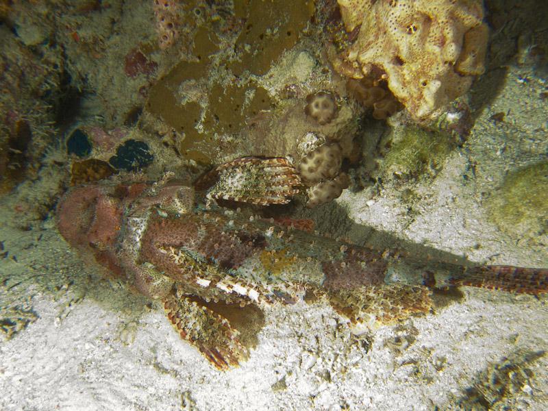 Photo at Shark & Yolanda Reefs:  Tassled scorpionfish