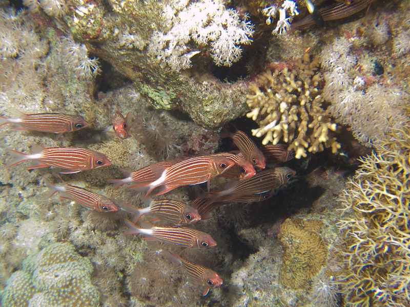 Photo at Shark & Yolanda Reefs:  Crown squirrelfish