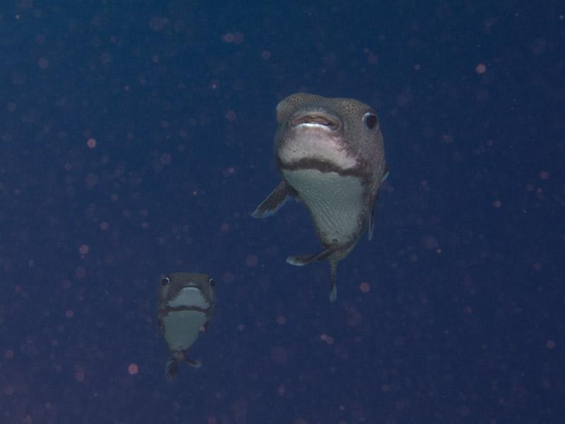 Photo at Fiddle Garden:  Spot-fin porcupinefish ('Balloonfish')