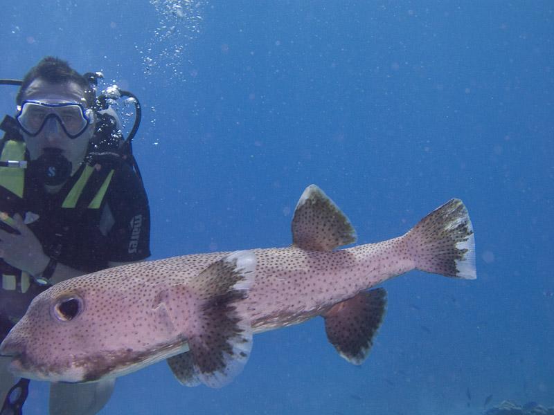 Photo at Fiddle Garden:  Spotbase burrfish