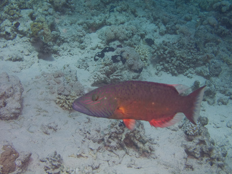 Photo at Fiddle Garden:  Cheeklined wrasse