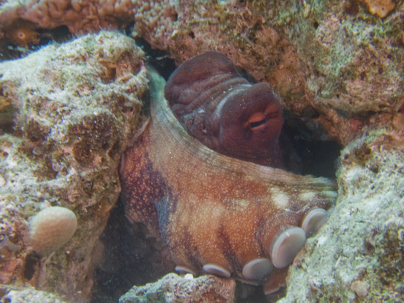 Photo at Fiddle Garden:  Reef Octopus