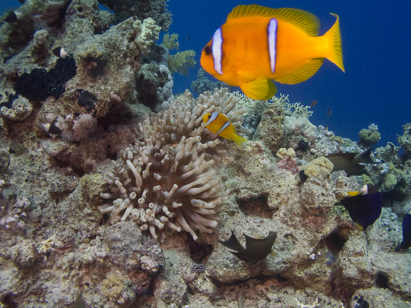 Photo at Fiddle Garden:  Twoband anemonefish