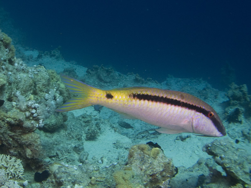 Photo at Fiddle Garden:  Red Sea goatfish