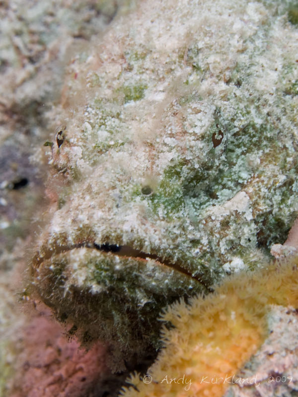 Photo at Jackfish Alley:  False stonefish