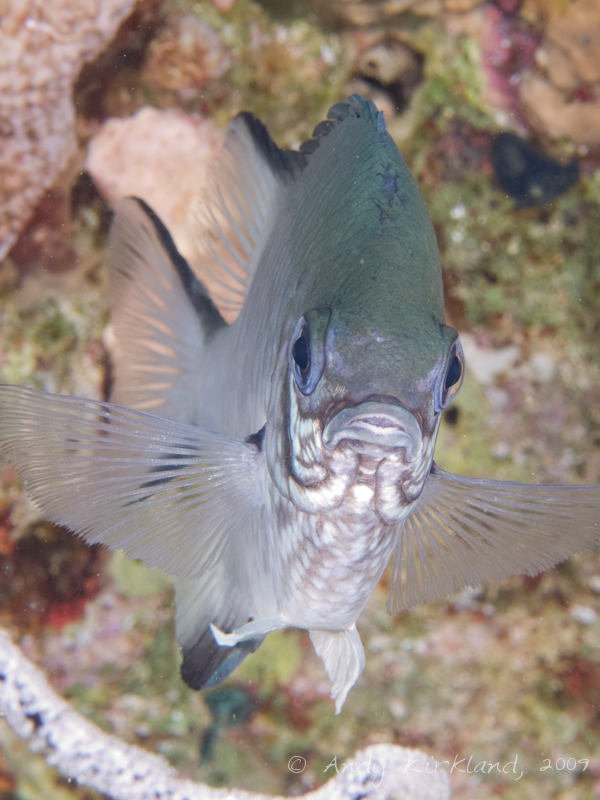 Photo at Jackfish Alley:  Pale Damselfish