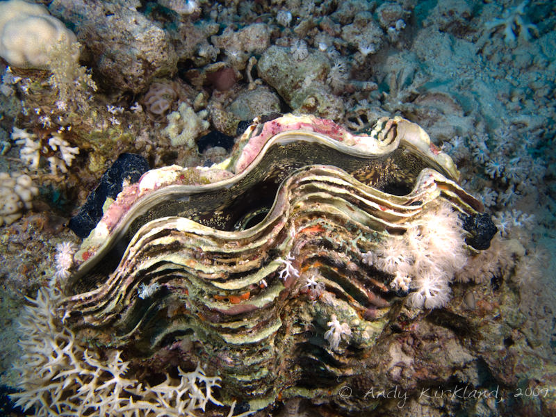 Photo at Jackfish Alley:  Giant Clam