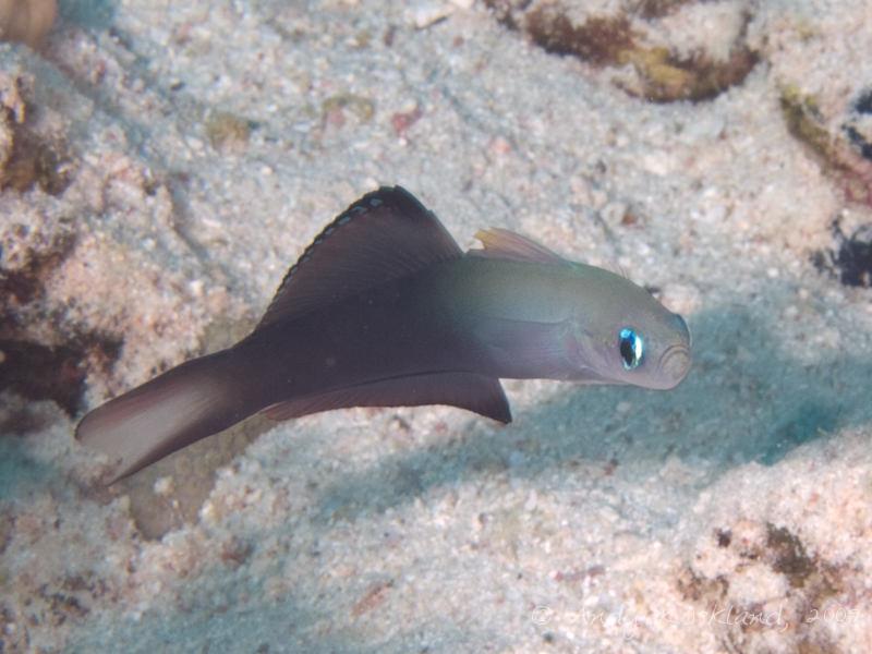 Photo at Jackfish Alley:  Blackfin dartfish