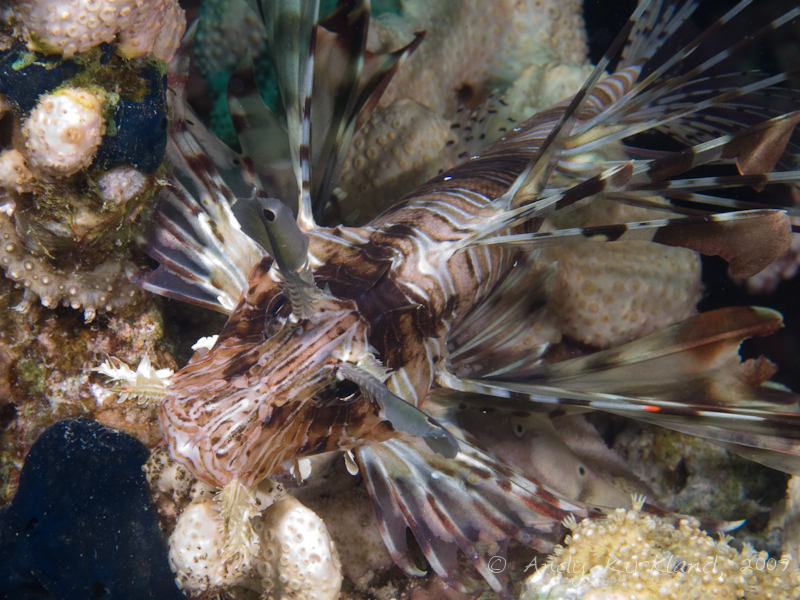 Photo at Jackfish Alley:  Devil firefish