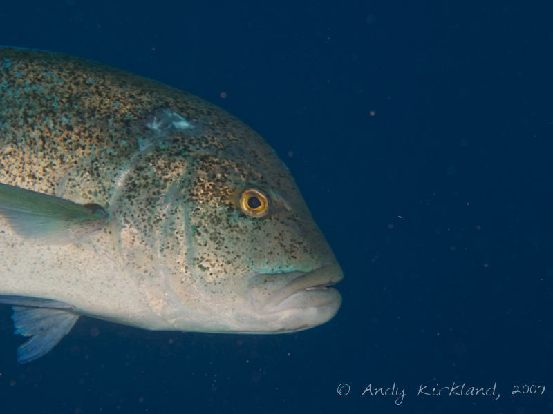 Photo at Ras Zata'ar:  Bluefin trevally