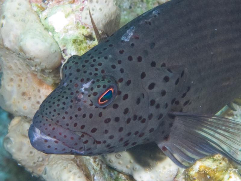 Photo at Ras Zata'ar:  Blackside hawkfish