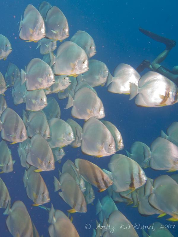 Photo at Shark & Yolanda Reefs:  Tiera batfish