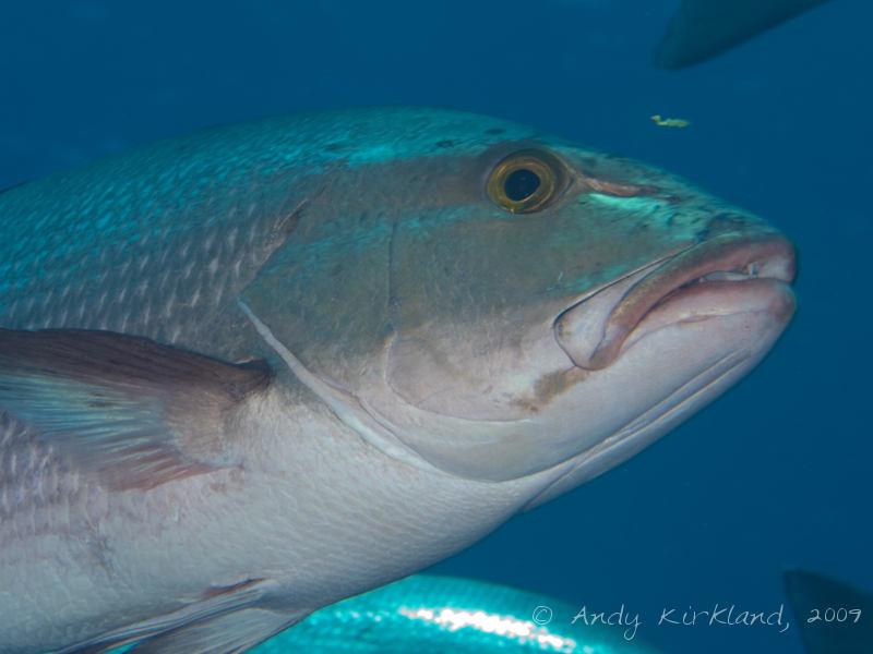 Photo at Shark & Yolanda Reefs:  Two-spot red snapper