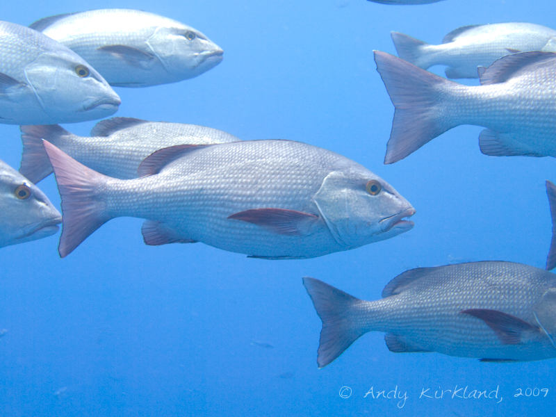 Photo at Shark & Yolanda Reefs:  Two-spot red snapper