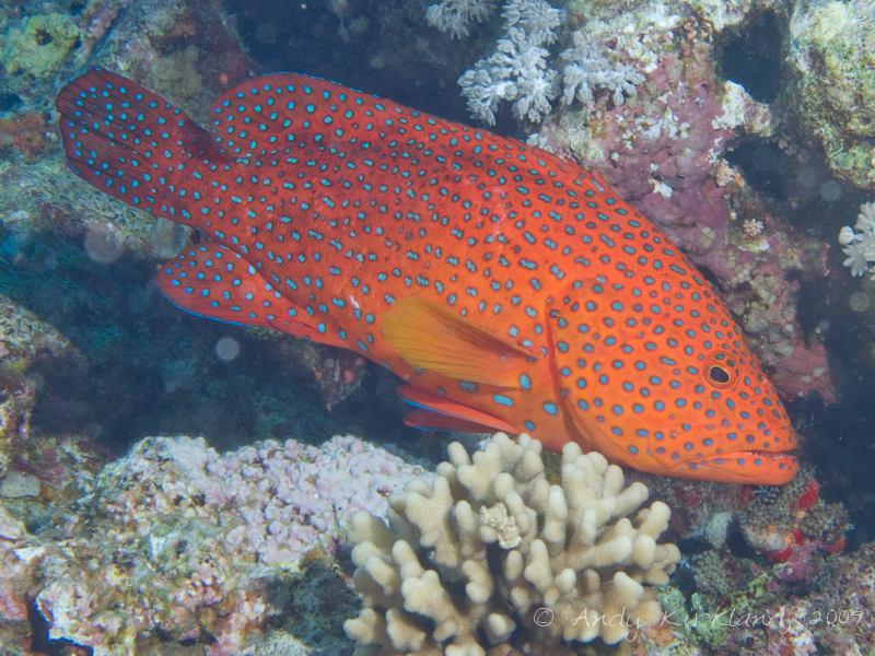 Photo at Shark & Yolanda Reefs:  Coral hind