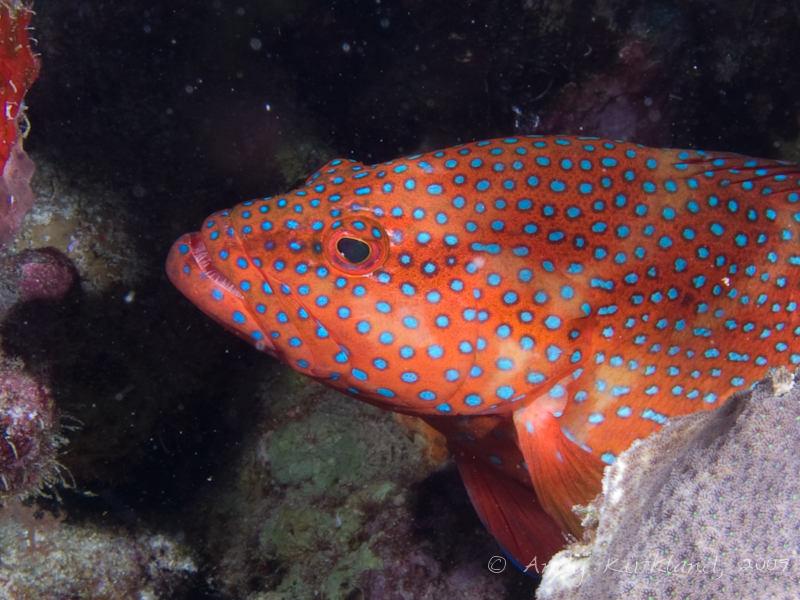 Photo at Jackson Reef:  Coral hind