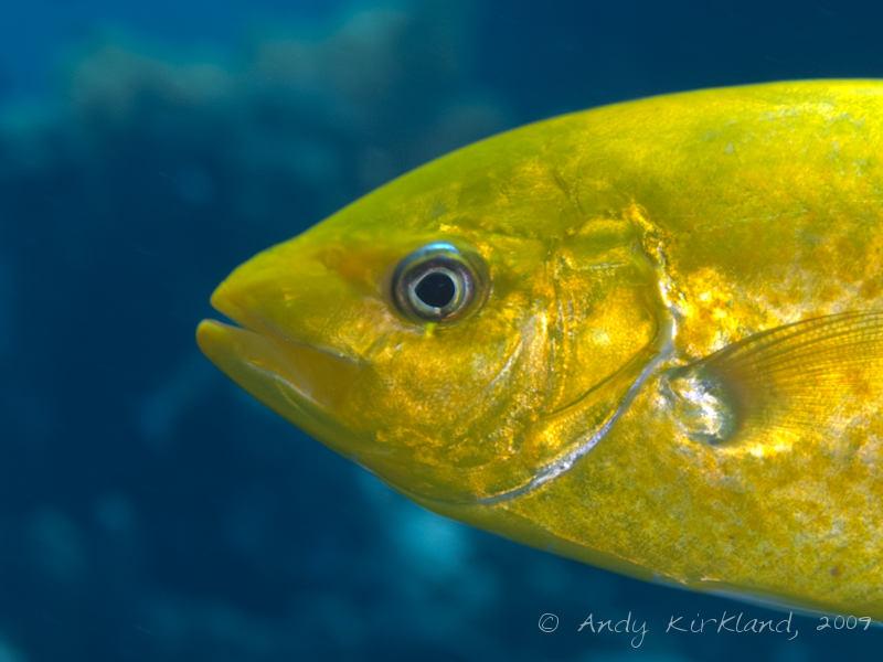 Photo at Jackson Reef:  Orangespotted trevally