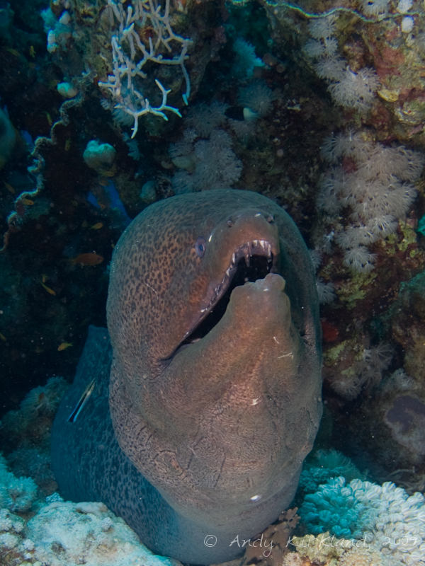 Photo at Woodhouse Reef:  Giant moray