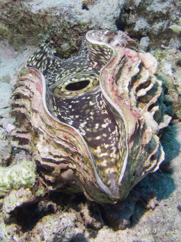 Photo at Woodhouse Reef:  Giant Clam