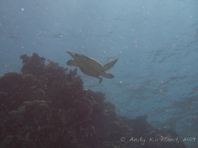 Photo at Woodhouse Reef:  Hawksbill Turtle