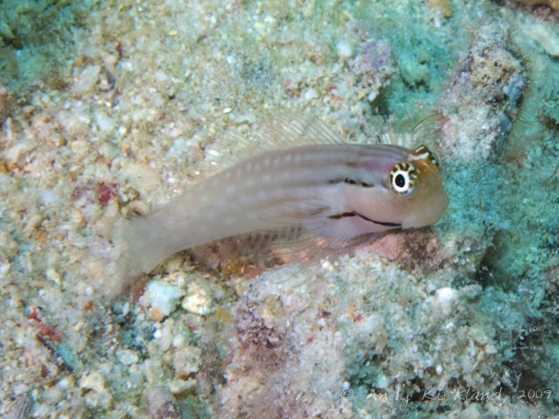 Photo at Gordon Reef:  Dentex blenny