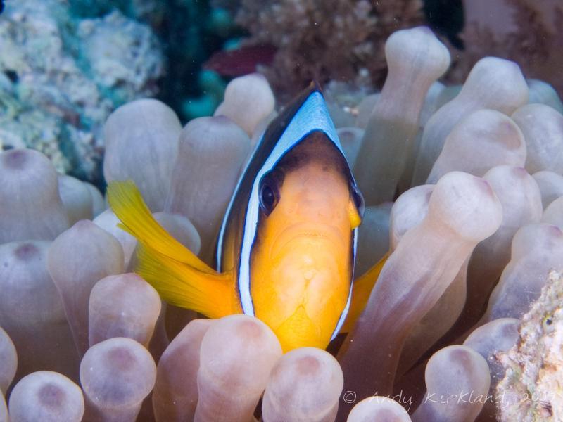 Photo at Gordon Reef:  Twoband anemonefish