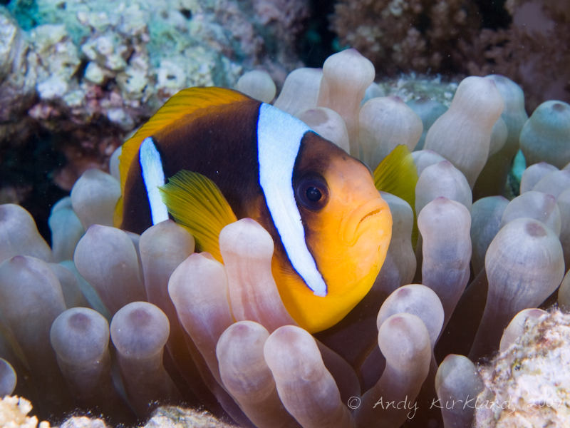 Photo at Gordon Reef:  Twoband anemonefish
