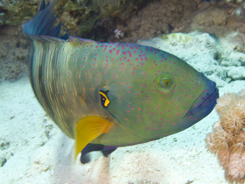 Photo at Gordon Reef:  Broomtail wrasse