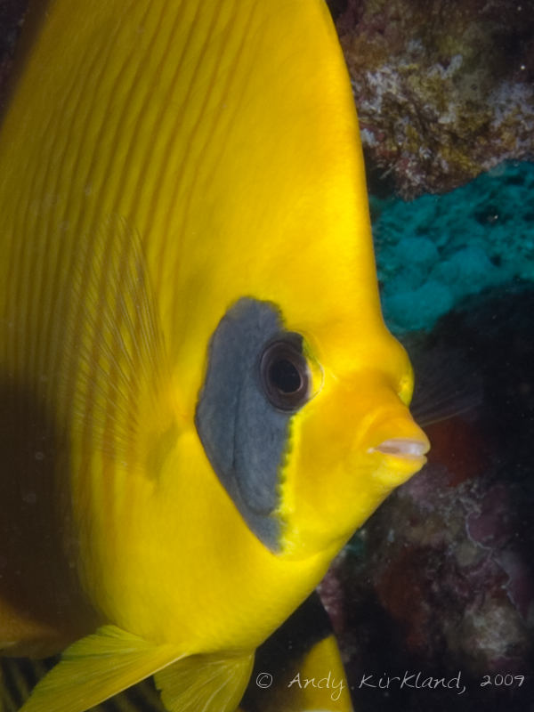 Photo at Gordon Reef:  Bluecheek butterflyfish