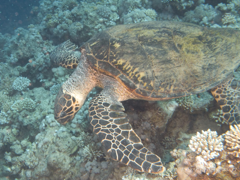 Photo at Gordon Reef:  Hawksbill Turtle