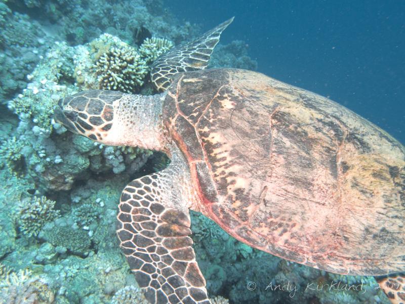 Photo at Gordon Reef:  Hawksbill Turtle