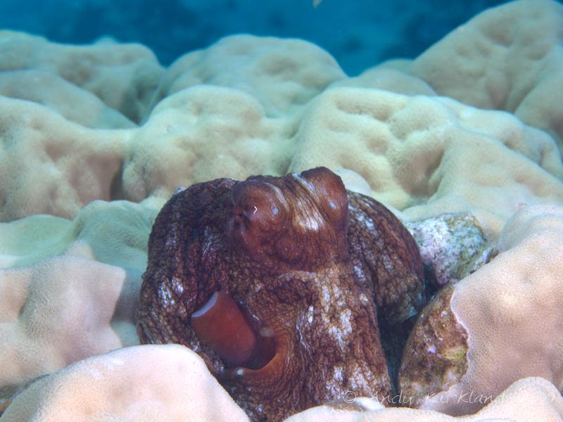 Photo at Gordon Reef:  Reef Octopus