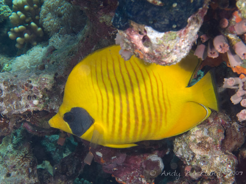 Photo at Gordon Reef:  Bluecheek butterflyfish