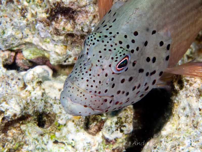Photo at Gordon Reef:  Blackside hawkfish