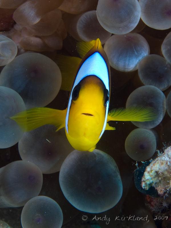 Photo at Ras Ghazlani:  Twoband anemonefish