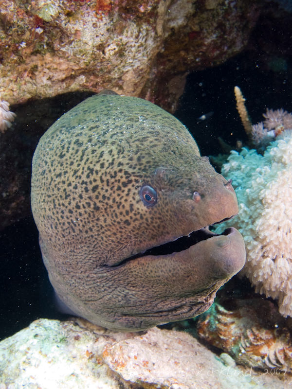 Photo at Ras Ghazlani:  Giant moray