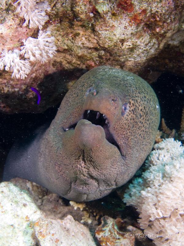 Photo at Ras Ghazlani:  Giant moray