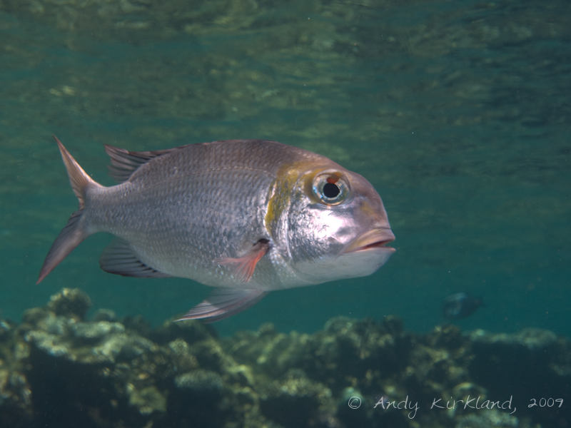 Photo at Ras Ghazlani:  Humpnose big-eye bream