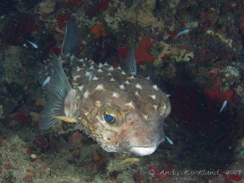 Photo at Shark & Yolanda Reefs:  Spotbase burrfish