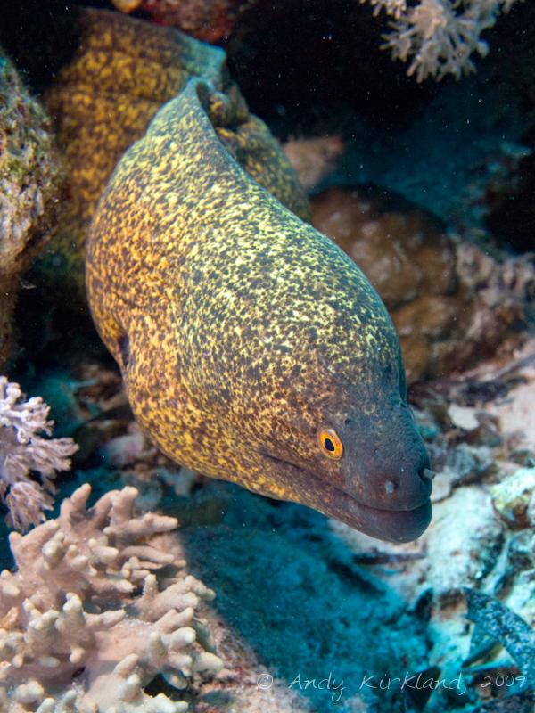 Photo at Shark & Yolanda Reefs:  Yellow-edged moray
