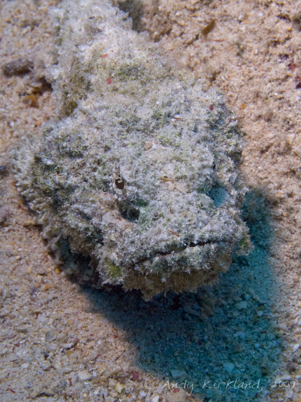 Photo at Shark & Yolanda Reefs:  False stonefish