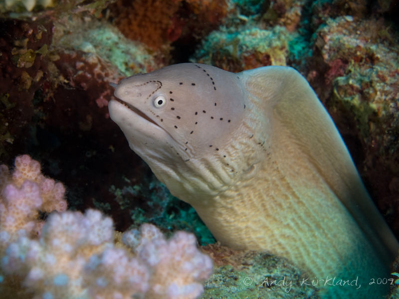 Photo at Gordon Reef:  Geometric moray