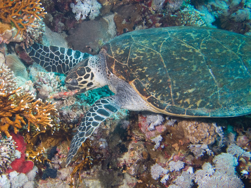 Photo at Thomas Reef:  Hawksbill Turtle