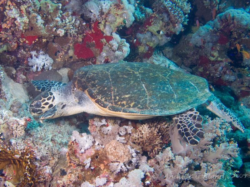 Photo at Thomas Reef:  Hawksbill Turtle