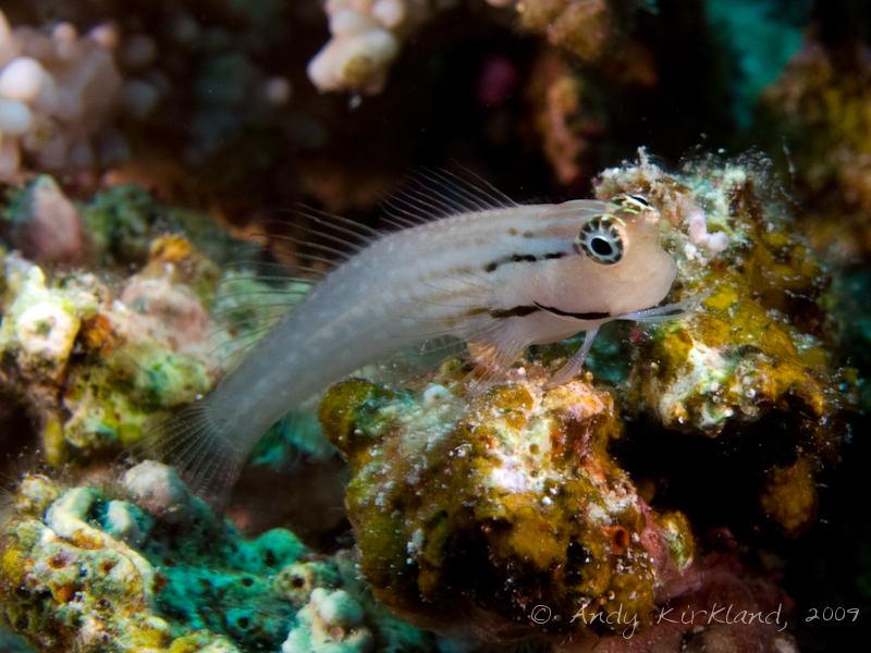 Photo at Thomas Reef:  Dentex blenny