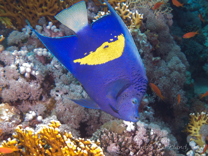 Photo at Thomas Reef:  Yellowbar angelfish