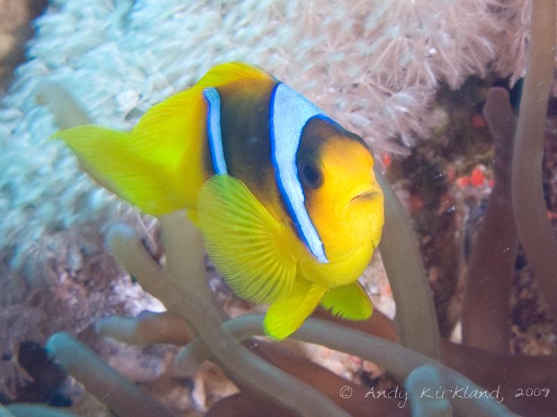 Photo at Thomas Reef:  Twoband anemonefish