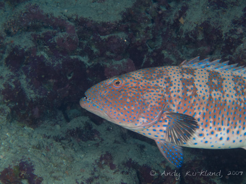 Photo at Ras Zata'ar:  Red Sea coralgrouper